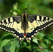 Описание бабочки махаон 83
