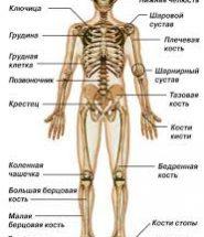 Реферат на тему строение скелета человека 1364