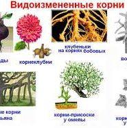 Доклад о видоизменении корней 6292