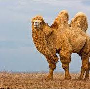 Доклад на тему пустыня про верблюда 9908