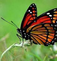 Что бабочки делают зимой