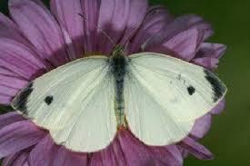Фото Капустницы Бабочки | 183x275