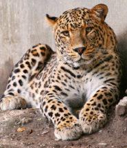 Доклад про леопарда на английском 1868