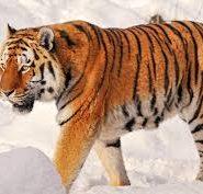 Про тигров реферат на английском языке 9963