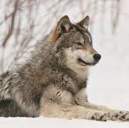 Научный доклад о волках 2829