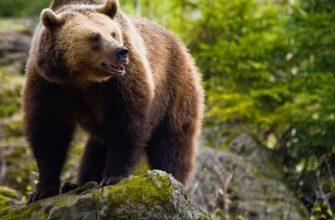 описание медведя для детей