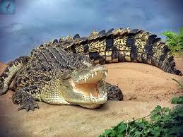 гребнистый крокодил сообщение 4 класс