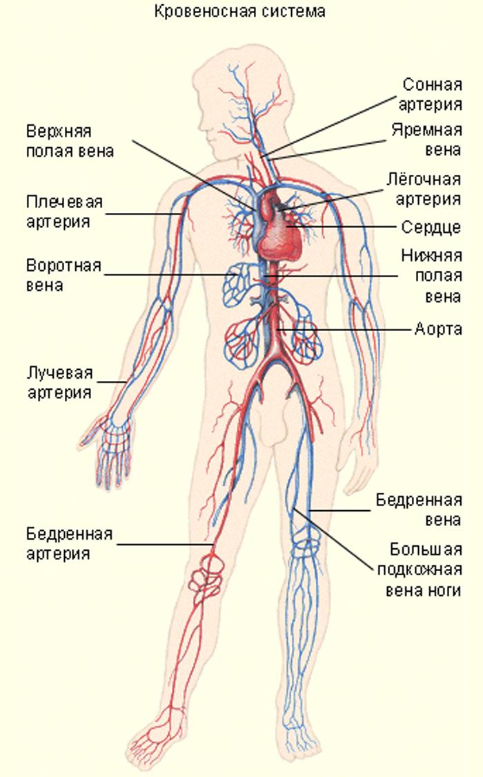 отличный картинка кровеносной системы человека сосуды и сердце интернет всех быстрый