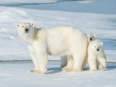 описание белого медведя для детей