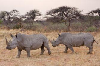 носорог описание для детей