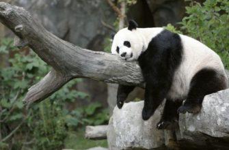 описание панды для детей