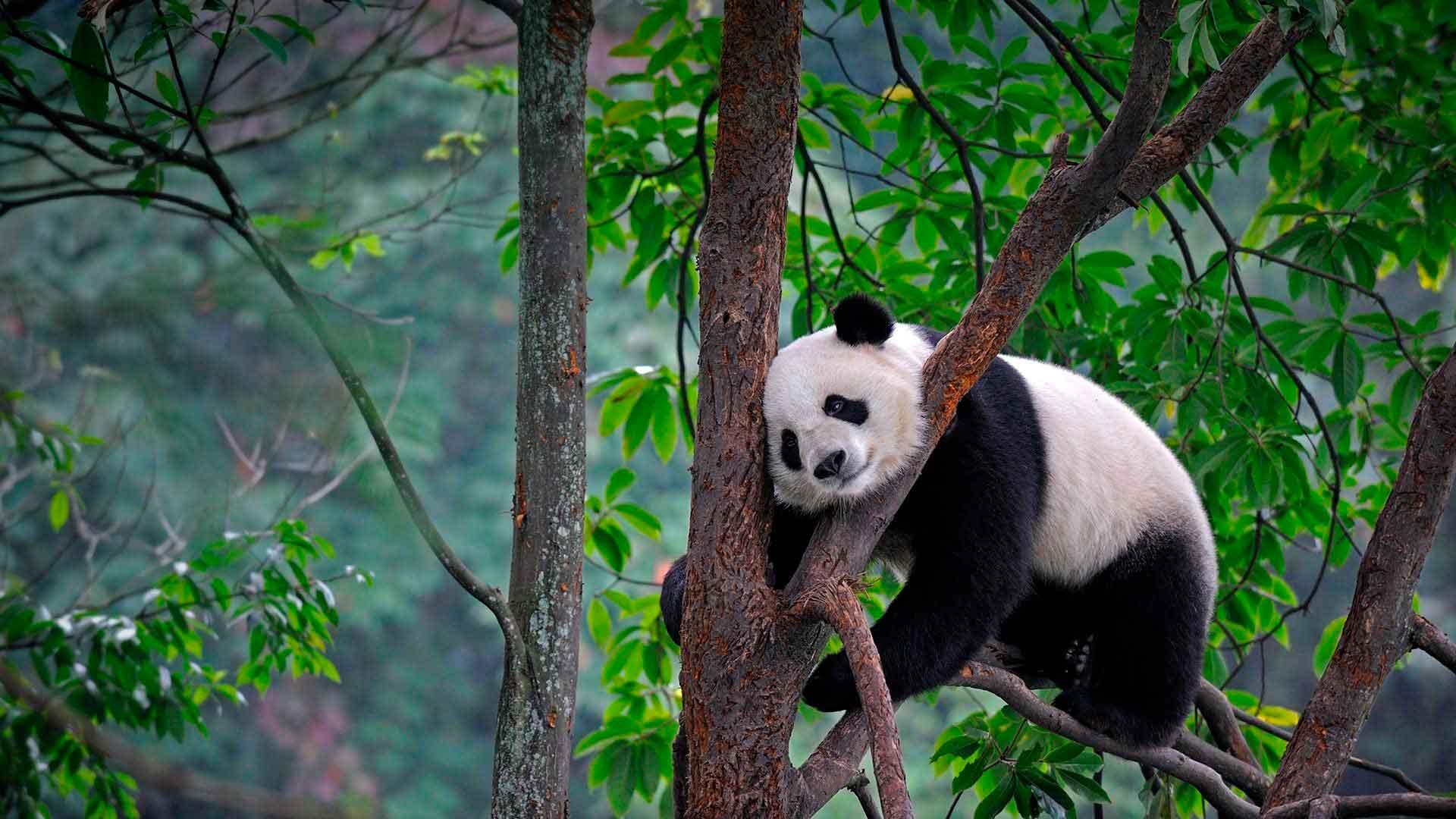 Панда на природе картинки