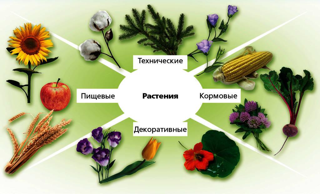 Как человек использует покрытосеменные растения