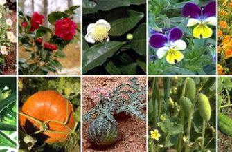 признаки растений двудольные
