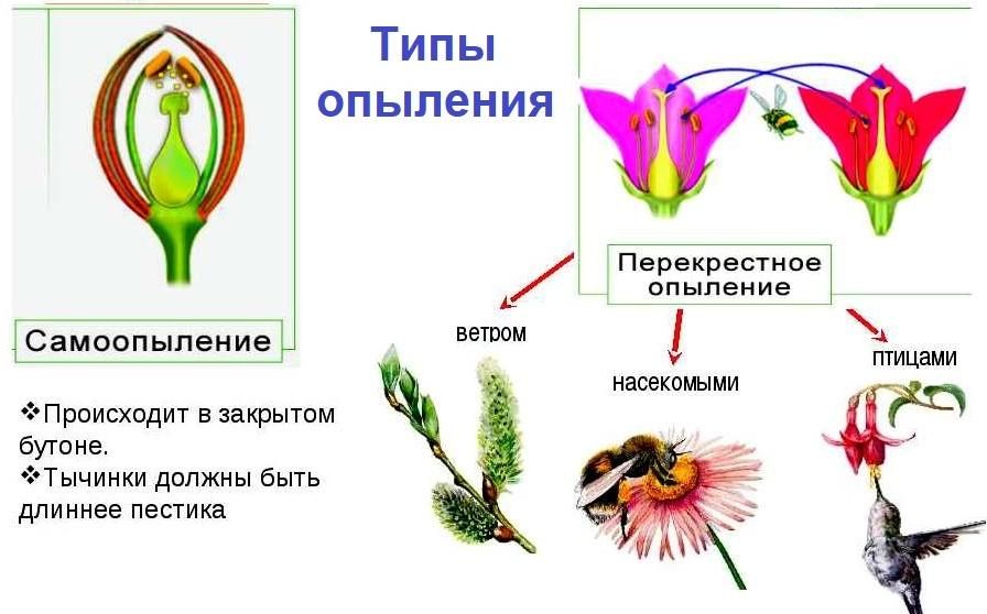 Типы опыления растений сообщение