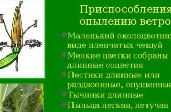 Приспособления растений к опылению ветром