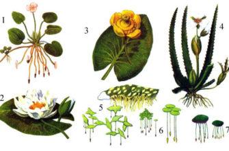Приспособленния растений к воде
