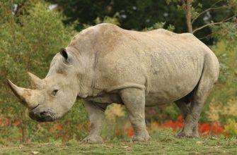 сообщение белый носорог 4 класс
