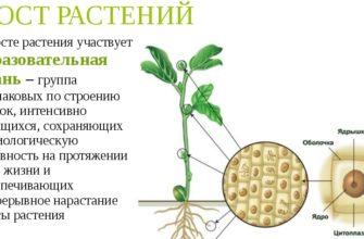 значение роста в жизни растений