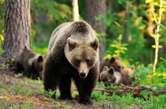 про медведя на английском