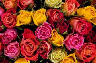 описание розы для детей