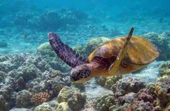 Зеленая морская черепаха сообщение